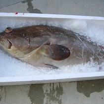【食材一例】幻の高級魚クエ