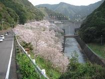 島の瀬ダム桜