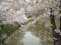上田城お堀の桜