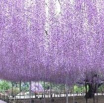 藤の花(あしかがフラワーパーク5月) 藤の花はもはや説明不要♪全国から観光客が訪れます♪
