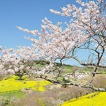マザー牧場 桜