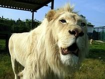 ホワイトライオン(那須サファリパーク)