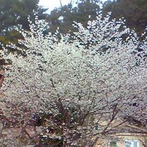 富士の麓に咲く富士桜