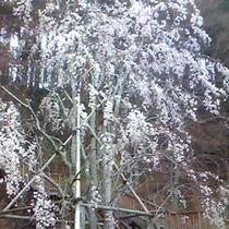桜公園のしだれ桜