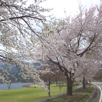 河口湖の桜