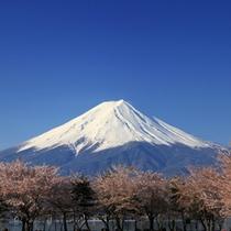 桜の並木と雪富士山