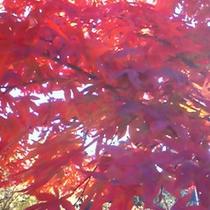 鮮やかな紅葉。例年見頃は11月中旬です。(写真はイメージです)