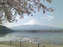 【四季の富士】桜と富士
