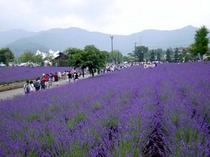 6月中旬に行われるラベンダー祭り