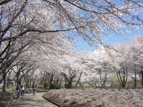 八木崎公園の桜