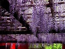 【観光】春日藤まつり