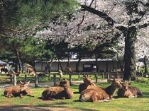 【観光】奈良公園の鹿さんたちの群れ