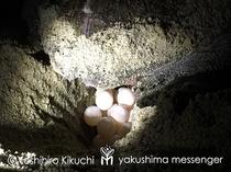 ウミガメ卵