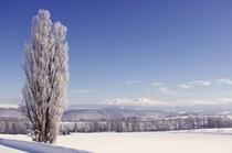 ケンとメリーの木と旭岳