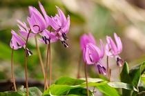 春の花(カタクリ)