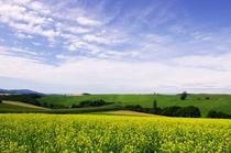 緑肥のキガラシ畑