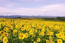 緑肥のヒマワリ畑