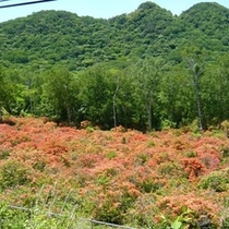 【赤城山◎ツツジ】日本百名山の赤城山★写真は6月のツツジです★