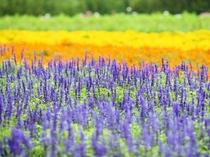 【富良野の景観】富良野といえばラベンダー。敷地内にもラベンダー畑を有しています ※写真はイメージです