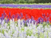 【富良野の景観】色とりどりの花が咲き誇ります