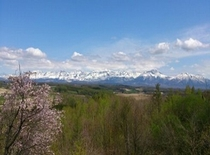 桜と十勝岳連峰
