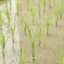 【淡路棚田の湯】 棚田の湯では稲や玉葱など季節の農作物も植えられている