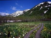 みずばしょうの群生地初夏の「栂池自然園」