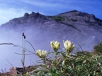 美しい高山植物「りんどう」