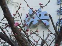 浜栄の玄関の梅がほころび始めました