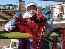 伊勢えび漁の網をさばく、おばあちゃん