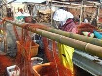 毎朝、海から揚げてきた網をさばいている