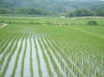 浜栄のお米は自家製、コシヒカリ