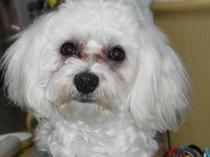 ペンションの愛犬、チャロ