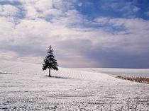 【初冬のクリスマスツリーの木】