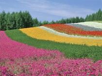 【花の虹 ファーム富田《彩りの畑》】