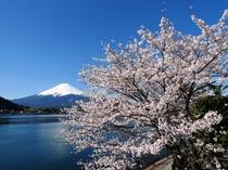 河口湖、桜の開花情報について