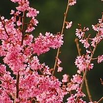 桜鶯セット左