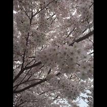 4月には自慢の桜木が見事に咲き誇ります
