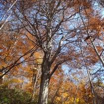 *小菅山登山/ブナの巨木「森香」