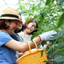 トマトの村でミネラルトマトの農家体験