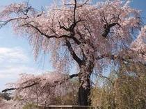 京都 しだれ桜