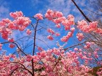 京都 春の桜