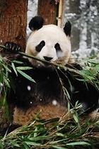 【上野動物園】シンシン
