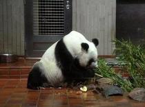 【上野動物園】パンダ