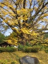 天然記念物(下城の大イチョウ)