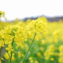 菜の花畑お風景