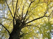 信貴山銀杏の木