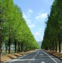 緑のメタセコイアの並木道