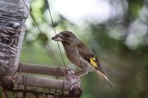 毎朝四時頃になるとカワラヒワ・クロツグミ・コルリの森のシンフォニー、鳥のさえずりで目が覚めます。