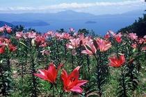 50種250万輪のユリと眼下に琵琶湖の絶景を望む箱舘山ゆり園